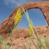 In October, a lovely spray of flowers blooms near Corona Arch, Moab, Utah