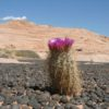 A blooming cactus stands among the moqui marbles near the Zebra Slots, Grand Staircase-Escalante National Monument, Utah
