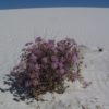 Pink flowers have found a home on a sand dune in White Sands National Monument, New Mexico