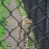 A cheetah paces the fence at the Cape May Zoo, Cape May, New Jersey