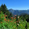 Wildflowers on Canyon Ridge, overlooking Canada, Canyon Ridge Trail, Mt. Baker National Forest, Washington