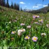Wildflowers bloom in abudnance in Bonneville Pass, near Togwotee Pass, in Shoshone National Forest, Wyoming.
