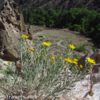 Flowers above and below the pueblos along the Main Loop in Bandelier National Monument, New Mexico