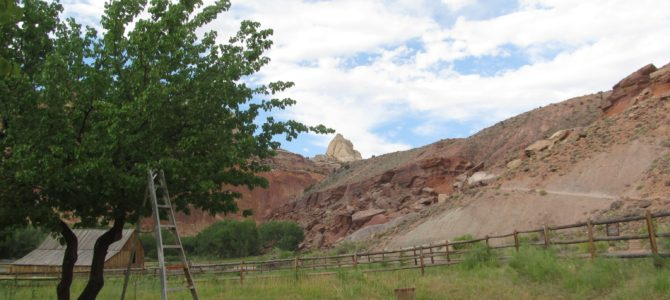 Picking Apricots at Capitol Reef National Park