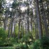 Sunlight through the pines in Webster Park, New York